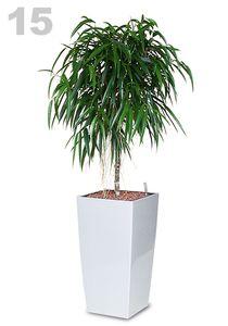 Ficus longifolia Stamm