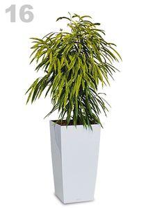 Ficus longifolia Gold