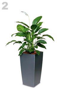 Spathiphyllum maxi